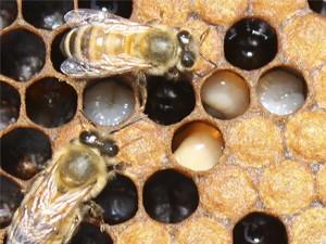 Грибковые заболевания пчёл