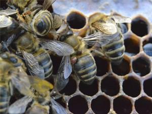 Клещевые заболевания пчёл