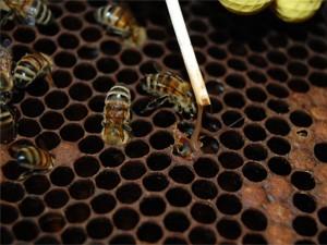 Вирусные инфекции пчёл